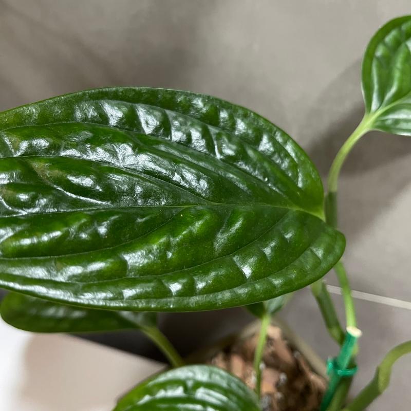 植物分享 綠色居家佈置 | 秘魯龜背芋/圓葉椒草,讓我有信心2021當個成功綠手指 @林飛比。玩美誌