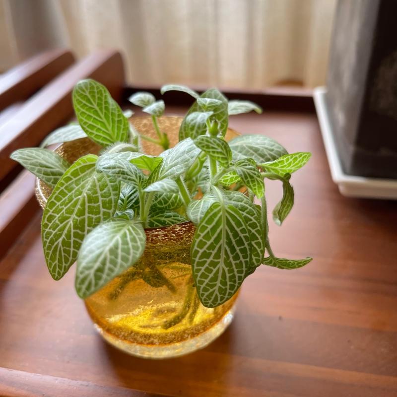 觀葉植物扦插分享 | 檸檬網紋草剪哪裡?土耕水耕都可以! @林飛比。玩美誌