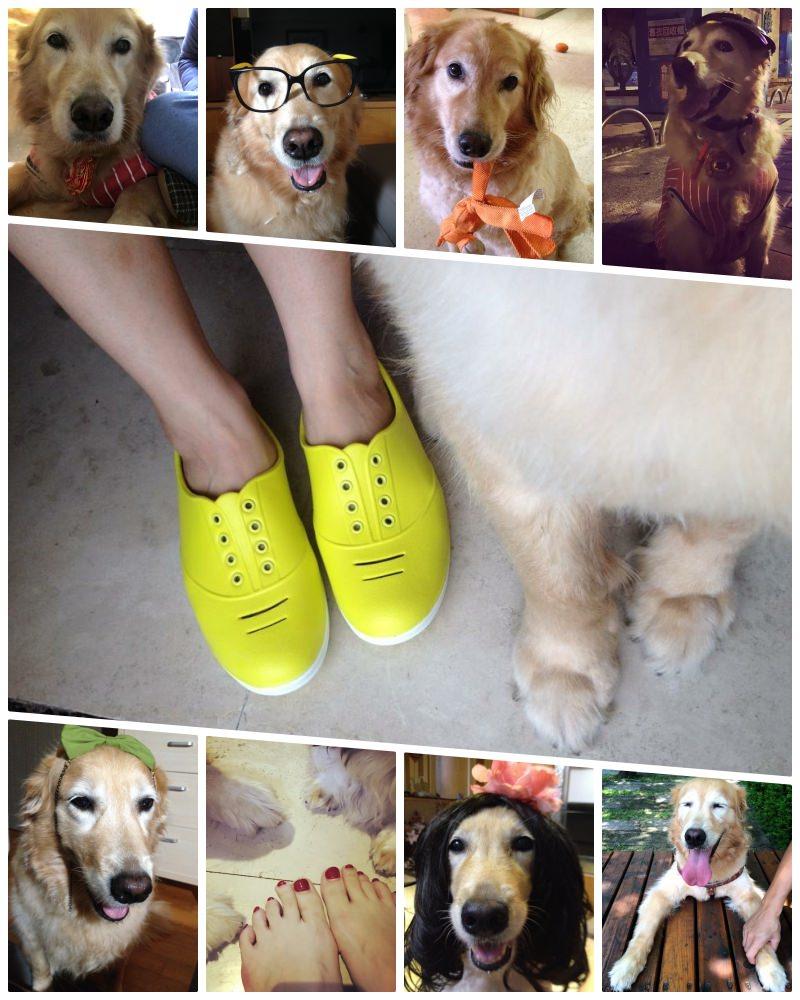 毛小孩|致 我們的黃金回憶。我的黃金獵犬-13歲的金姐 @林飛比。玩美誌